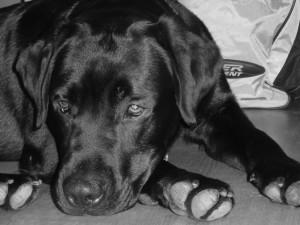 Ciro, il mio Labrador che adora il mare